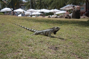 Iguanas passeiam tranquilas na Costa do Sauipe!